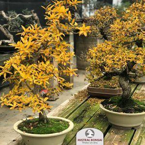 bonsai otoño